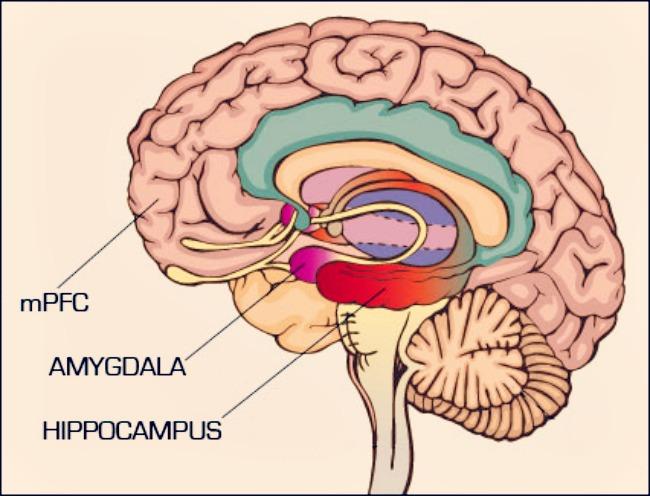 mpfc and amygdala